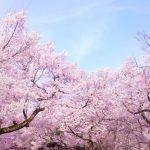 宮部みゆき「桜ほうさら」